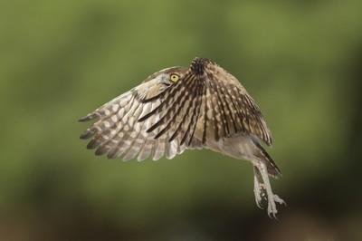 Burrowing Owl (Athene cunicularia) lift off, Salton Sea, CA. USA