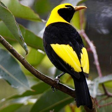 A male Regent Bowerbird - an Australian native