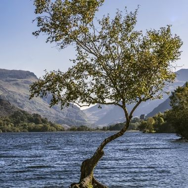This tree stands on the shores of Llyn Padarn near Llanberis. Its character reflects the ambient weather and season.