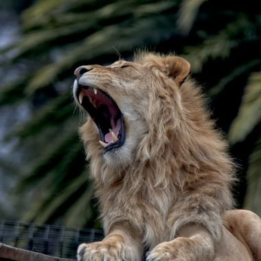Is it a roar or a yawn?