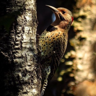 Northern Flicker (yellow-shafted) is one of the few woodpeckers that migrate.  #trailsend #northernflicker #yellowshaftednorthernflicker #birding #birdwatching #birdphotography #outthebackdoor #backyardnature #canon_photos #canonphotography #pocket_birds