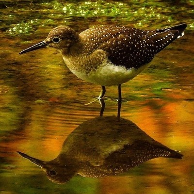 Solitary Sandpiper wading in the fall colors.  #trailsend #solitarysandpiper #fallcolors #birding #birdphotography #birdwatching #wander #outthebackdoor #backyardnature #canon_photos #canonphotography #raw_fall1 #raw_birds #pocket_birds #bird_brilliance #