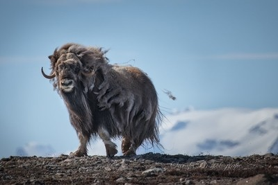 The dance of the muskox