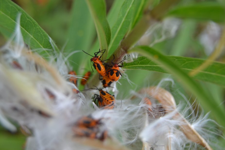 Great macro of milkweed beetles. When milkweed the plant starts to end its life cycle for the year for the year these tiny beetles about an eighth of an inch appear and devour the flower pod of the plant.