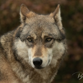 Image Taken at the International Wolf Center in Ely, Minnesota