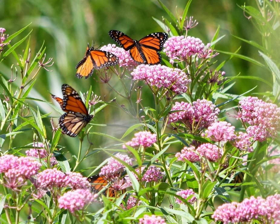 Late summer Monarchs in a field
