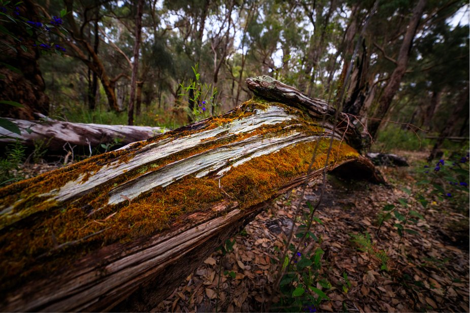 This was a fallen tree in the forests of Wapole in the Australian southwest