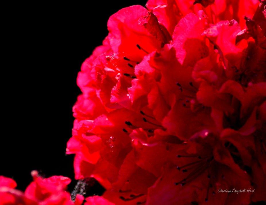 Red Geranium from my garden.