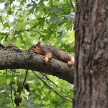 Poor squirrel was busy gathering nuts then landed in this tree