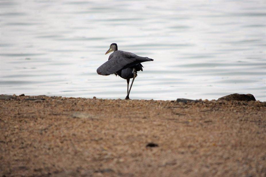 Blue Heron along bank of lake walking toward the water