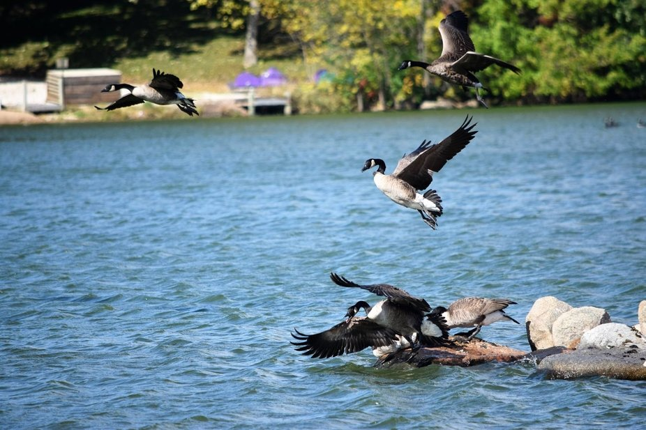 Migrating Canadian geese arriving at Swan Lake, in Carroll County, Iowa during a windy day.