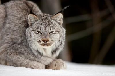 Wild Lynx Kitten