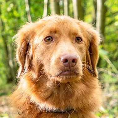 Tonica, my Nova Scotia Duck Tolling Retriever.   The smallest of the retriever breeds.