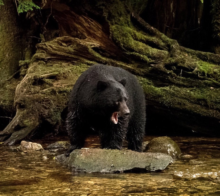 A beautiful black bear in the great bear rainforest fishing for salmon.