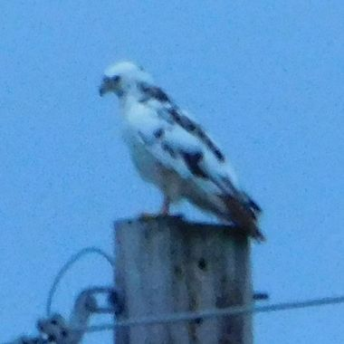 I know the lighting is bad, but this was taken at dusk and very cloudy out, This Bird is very hard to get pictures of and I have tried many times. I will replace this with a better one when I catch him again.  Rare sight: a leucistic red-tailed hawk! Leucism is a genetic condition that occurs when pigments are not deposited in feathers, resulting in a white or pale appearance. It differs from albinism, whereby no melanin pigments are produced at all; albino animals thus have red or pink eyes. Learn more about unusual variations in bird coloration: