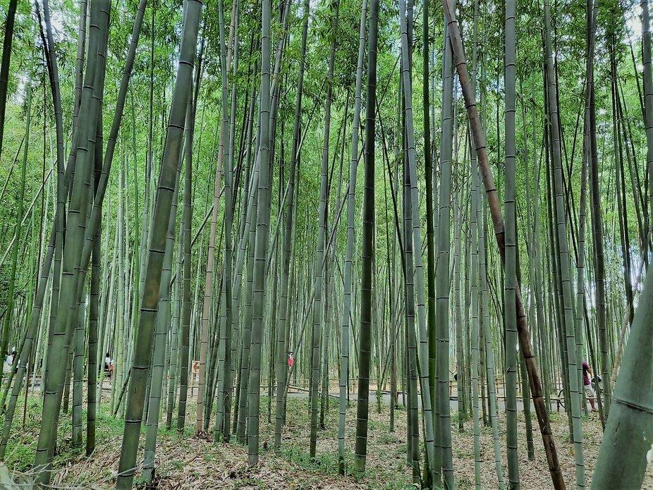 bamboo field, japan