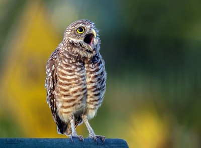 Emotional Burrowing Owl