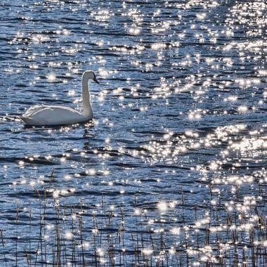 A Swan on Llyn Padarn in the sunlight.