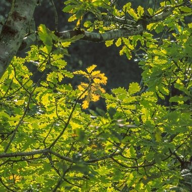 Woodland trees starting to turn at the beginning of Autumn.