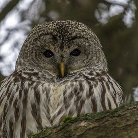 Our resident barred owl. He was curious what all the fuss was below his perch.