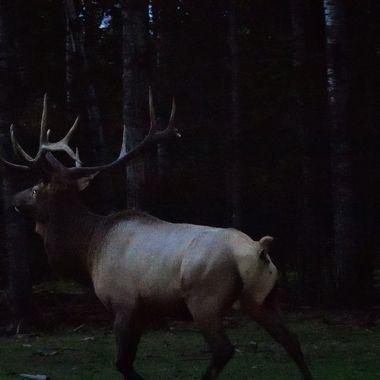 Last light bull!
