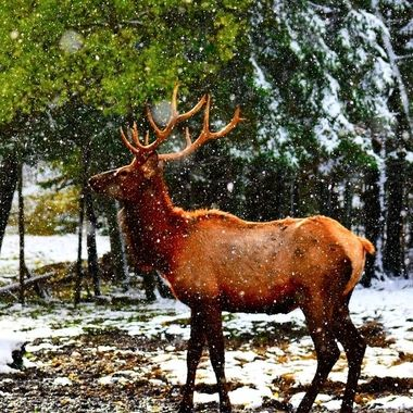Young bull loving the fall snow!