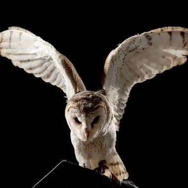 Juvenile Barn Owl spreading his wings.