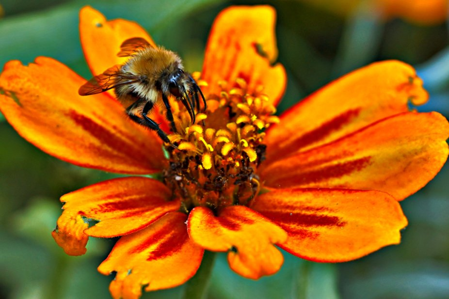 a bee and a zinnia