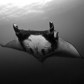 A huge female Oceanic Manta makes an appearance off the coast of Ecuador. These huge fish can reach 21ft across and roam the open oceans their wh...