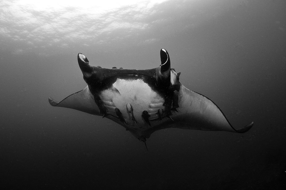 A huge female Oceanic Manta makes an appearance off the coast of Ecuador. These huge fish can rea...