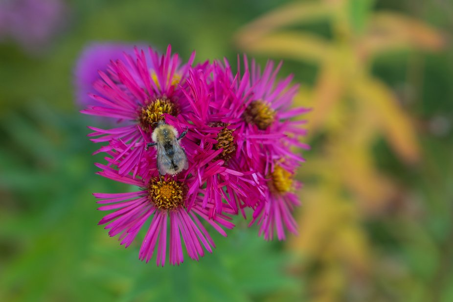 Aster with a Bee