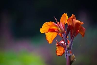 Canna Indica Flower
