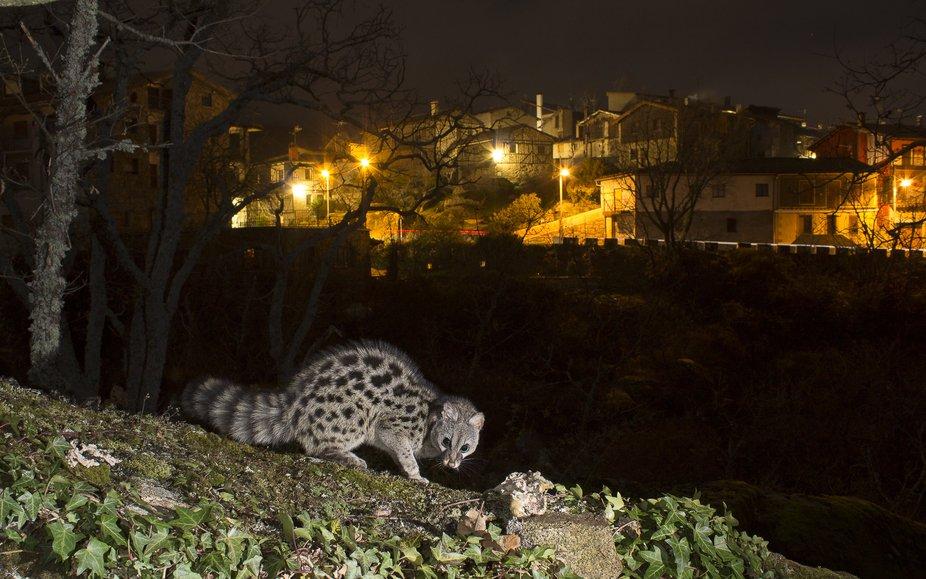 La Genetta, posiblemente el mamifero carnivoro, nocturno,mas bello del ecosistema mediterraneo, g...