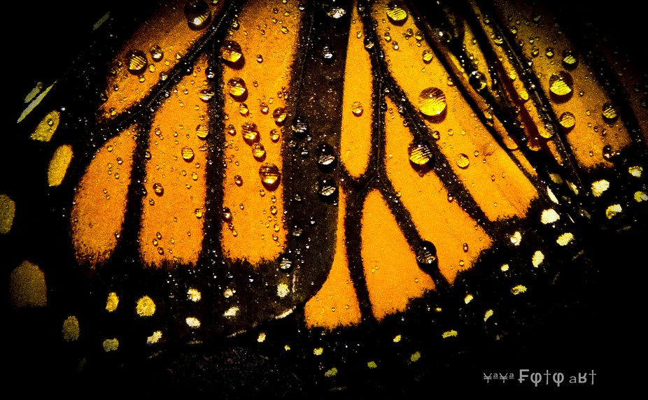 Monarch-3 .....Recent studies reveal some disheartening data regarding the Monarch species. Endan...