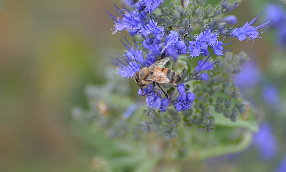 Almost all of the bees have gone for the season, but a few Honeybees remain, gathering pollen whe...