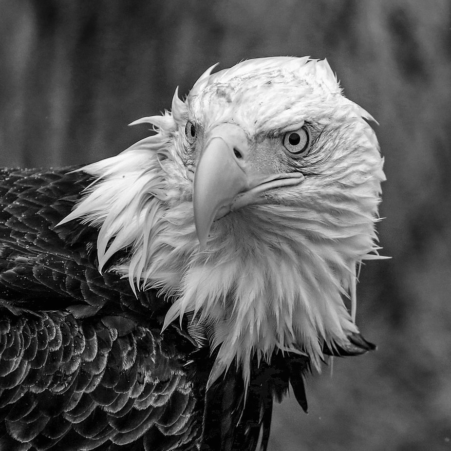 Bald Eagle Stare by llamaglobalphotography - Majestic Eagles Photo Contest