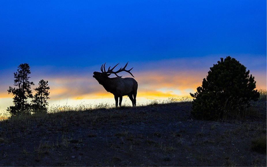 Bugling elk at sunset. Yellowstone National Park.