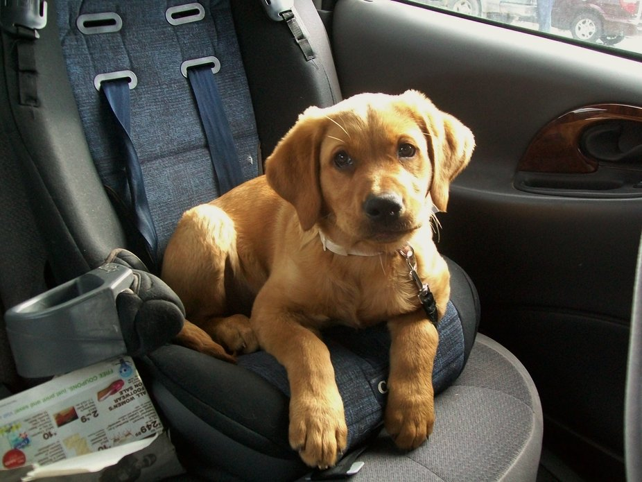 As a puppy she always wanted to sit in our grandson's car seat.  Little Ziva is a fox red yellow lab.