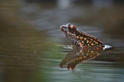 copyRed Frog or Leptophryne cruentata Frog