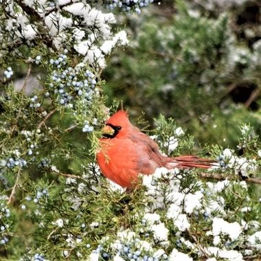One of several cardinals residing at the lake nearby.  Very elusive and camera-shy.  First snowfall of the season.
