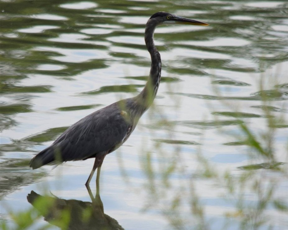 One of two herons that live at the lake nearby.  Photo captured from shore.  Bird was perched on rock just off the shore.