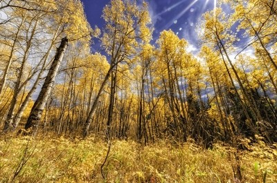 DSC_8885 Colorado Aspens
