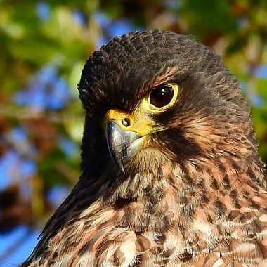 Karearea N.Z. Falcon