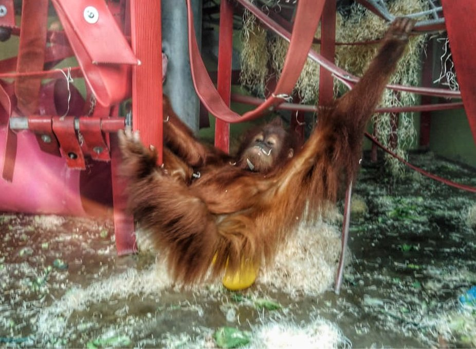 I came in like a orangutan