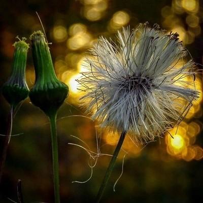 Burnweed and bokeh.  #trailsend #burnweed #wildflowers #macro #bokeh #wildflowerphotography #macrophotography #bokehphotography #outthebackdoor #backyardnature #canon_photos #canonphotography #pocket_flowers #raw_flowers #top_macro #bokeh_addicts #bokeh_a