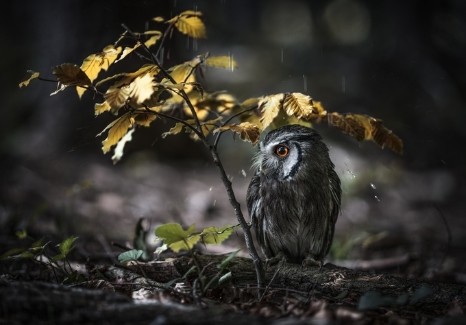 *** IN THE RAIN *** by DREAMCHATCHER - Beautiful Owls Photo Contest