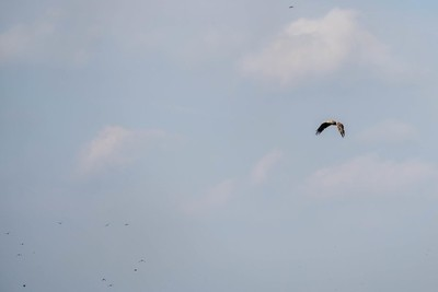 White-tailed Eagle (haliaeetus albicilla) in the Danube Delta