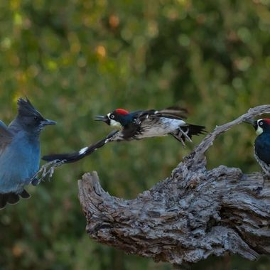 Acorn woodpecker couple ganging up on Steller's Jay.  The Female is more feisty...