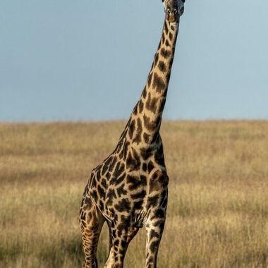 Giraffes are Tall