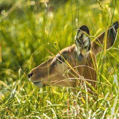 Tired Gazelle